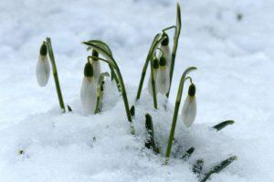 snowdrop-244994_A